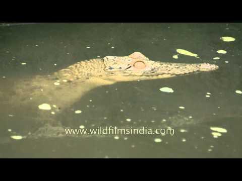 Streamlined body of a crocodile, Sunderban National Park