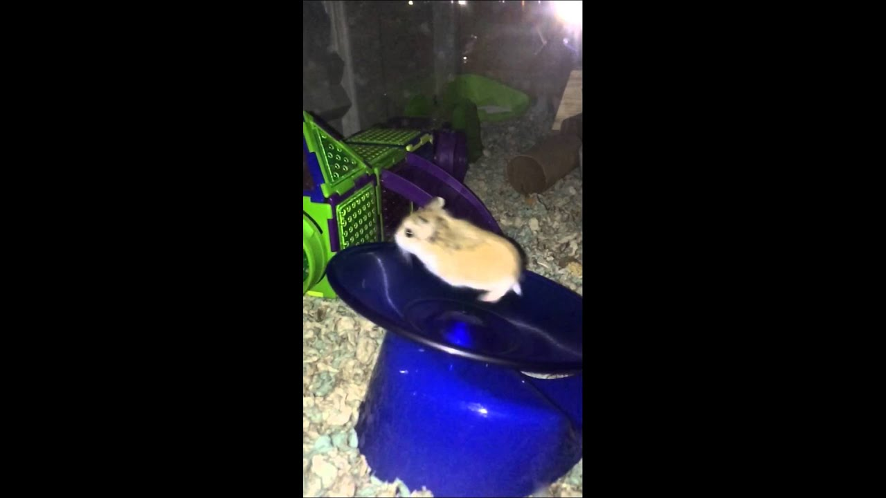 Crazy Hamsters Wheel Crazy Hamster Running on Wheel