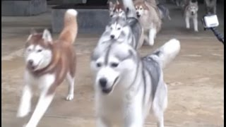 Epic 10min Compilation of HUSKIES!!!! JUST TOO ADORABLE!!!!