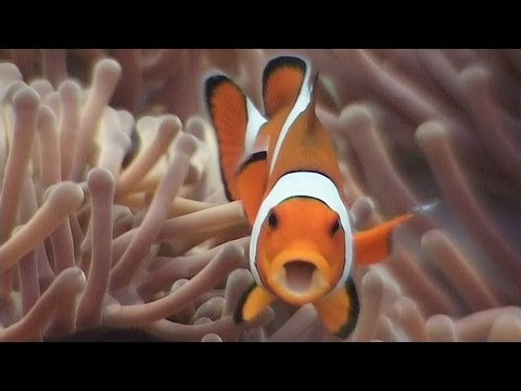 """Symbiosis, including anemonefish & clownfish. Part 18 of my DVD, """"Reef Life of the Andaman"""", available at http://www.bubblevision.com/marine-life-DVD.htm  In this video we see how fishes form symbiotic relationships with other marine life in order to defend themselves. First we find sea urchin cardinalfish, Siphamia versicolor, protecting themselves amongst the spines of sea urchins and crown-of-thorns starfish at Koh Bon, near the Similan Islands, and in the Mergui Archipelago. This is known as a """"commensal"""" relationship, whereby one partner in the relationship benefits while the other receives neither benefit nor harm.  Anemonefish form symbiotic relationships with sea anemones. This is a mutually-beneficial symbiotic relationship. While the fish are protected, their faeces provide food for the anemone and they help keep it free of parasites. We see skunk clownfish, Clark's anemonefish, saddle anemonefish and the well-known ocellaris clownfish (Amphiprion ocellaris) finding their home in various species of sea anemone such as the magnificent anemone, Heteractis magnifica.  Porcelain anemone crabs, Neopetrolisthes maculatus, are found in sea anemones in the Similan Islands, while a magnificent shrimp, Ancylomenes magnificus, shelters under the stinging tentacles of a tube anemone at Burma's Shark Cave, itself covered in phoronid worms.  Finally we see how small and juvenile fish """"hitchhike"""" in jellyfish to protect themself from predators.  The full narration is available as English, German or Spanish subtitles by turning on the closed captions (CC). There are also closed captions available showing scientific and common names of the marine life in English, German or Dutch, along with dive site names.  Thanks to Erik Verkoyen for the music track, """"Pattern Errors"""".  """"Reef Life of the Andaman"""" is being serialised weekly on YouTube. Please subscribe to my channel to receive notifications of new episodes as I release them. The series features descriptions of 213 differen"""