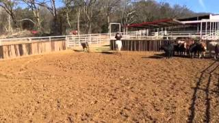 Cremello- Jared Lesh Cowhorses