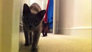 Stalking cat - brilliant creeping burmese cats rock style!!