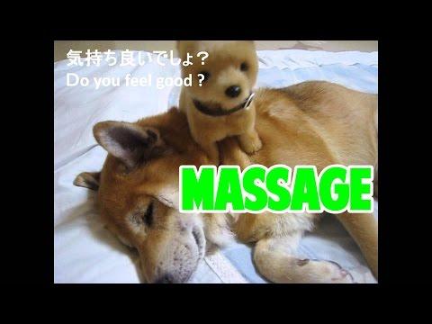 日本初マッサージ上手なおもちゃの柴犬にメロメロな柴犬まめ
