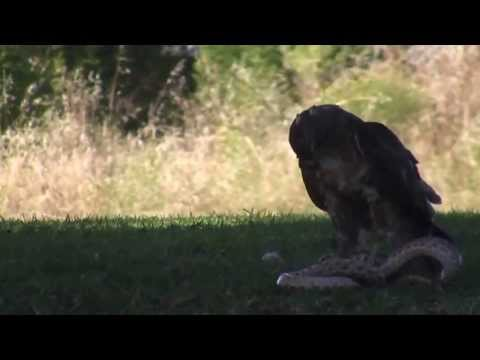 Eagle Vs Snake Fight 2