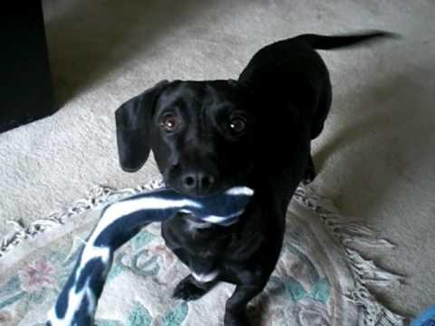 Dachshund Dog Breed Information  American Kennel Club