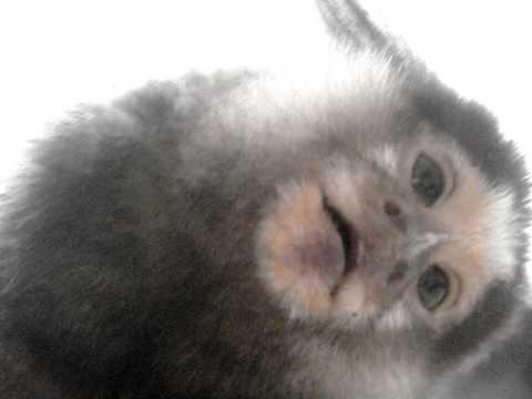 Monkey Making Noise Chewy The Monkey Making Weird