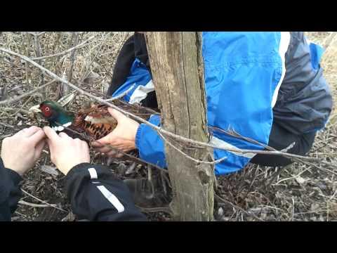 как ловить фазанов на крючки