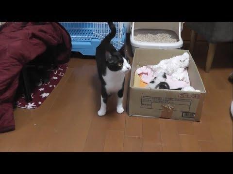 子猫の引越しが上手くいかず焦る母猫