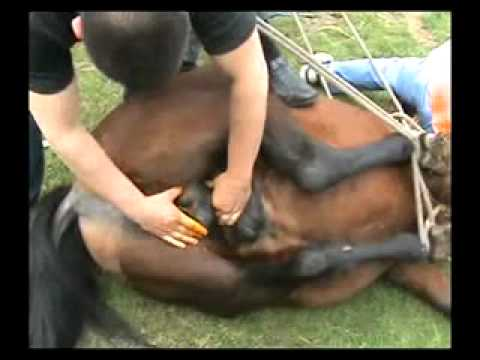 Horse castration Video