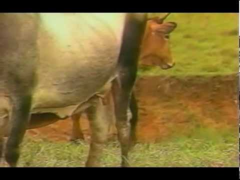 Crianza de Ganado Vacuno - Visión Agraria