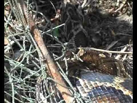 Serpent pi g youtube - Piege a serpent ...
