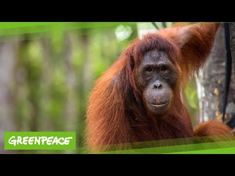 Orang Utan im Tuanan Reservat | Greenpeace
