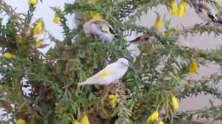 Chardonneret - Stieglitz-Goldfinch-Cardellini Major Giannis Tsakos-Greece