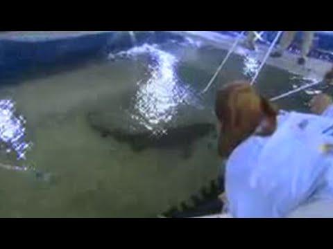 Sand shark foetus survival - extreme animals - BBC wildlife