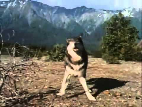 Собака атакует медведя защищая хозяина