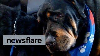 Ölen Kardeşi İçin Ağlayan Köpek