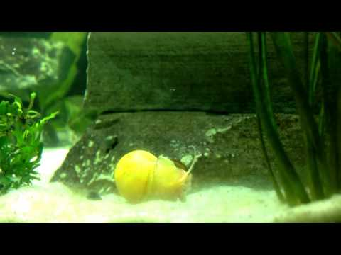 Apple Snail near death experience.