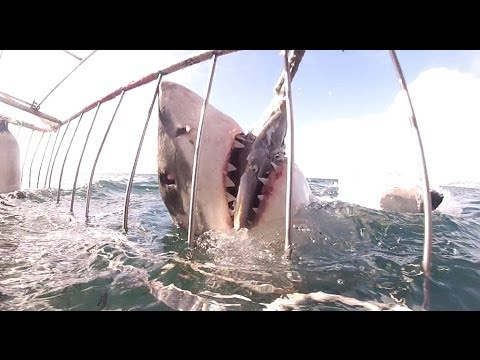 WARNING Shark Attack (Cage Diving - Great White Shark) - Mossel Bay (close to J-Bay), South Africa