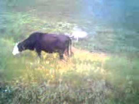 Пьяный пастух считает коров