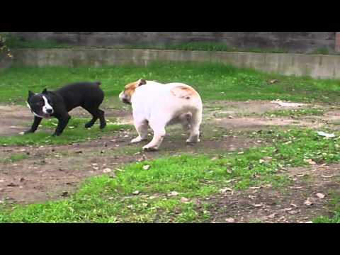 PITBULL VS BULLDOG
