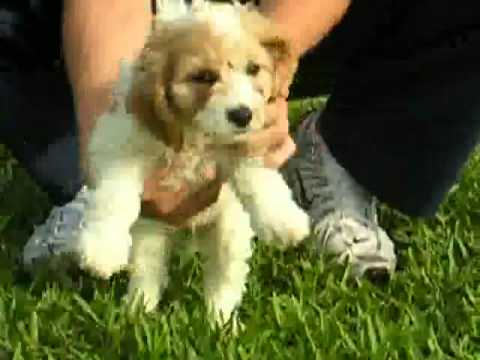 Cute little Cavanese (w) WITH VIDEO