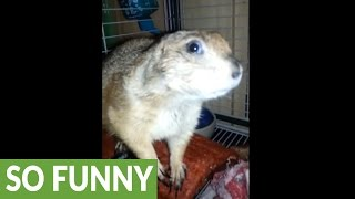 Prairie dog thinks it's a real dog