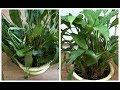 Как быстро оживить умирающее комнатное растение