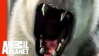 පෝලා වලහාට අහු උන ගැහැණියක් නූලෙන් බේරේ  Polar Bear Zoo Attack