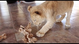 Experiment with Catnip and Lions - Day 5