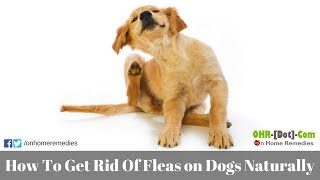 How To Get Rid Of Fleas on Dogs Naturally with 5 Best Home Remedies