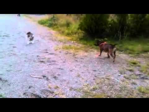 ORIGINAL - My staffy Ares vs. Cat :)