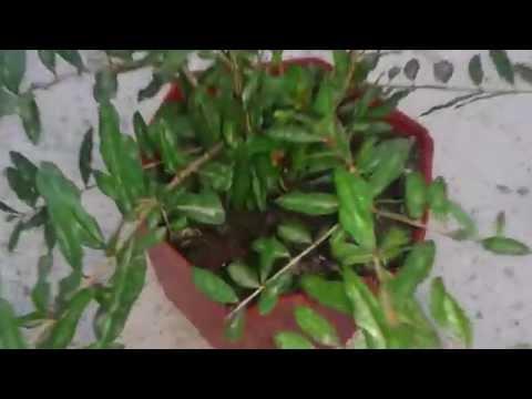 زراعة الرمان من البذور   3   thumbnail