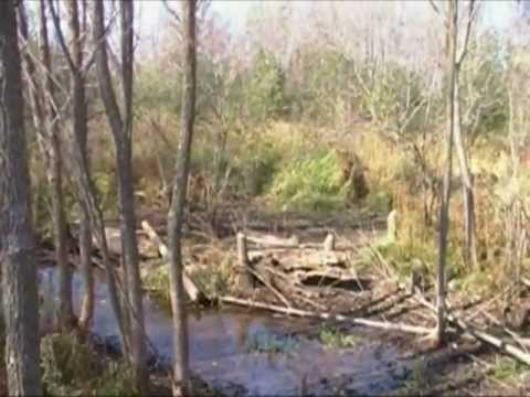 Beavers And Beaver Dam Removal 2011 Part A