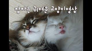 잠자는고양이 모습은 천사천사예요!  꾹꾹이는 서비스~