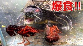 腹ペコの亀に大量のザリガニを与えたら凄過ぎた!
