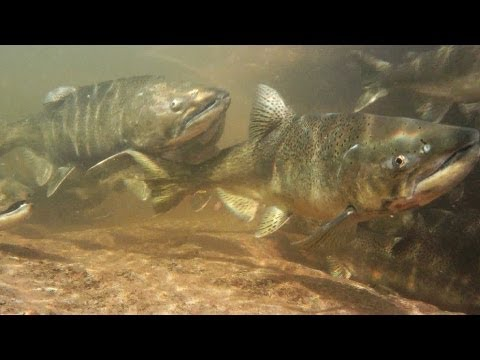 Salmon And Trout Hatchery Documentary