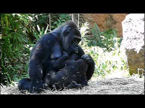 2011年7月17日の上野動物園のゴリラの母子。Mom and cute baby gorilla Komomo.