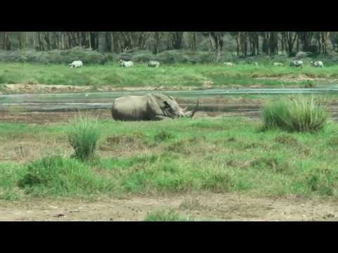 Rhino at Nakuru National Park - Trip through Nakuru National Park in Kenya