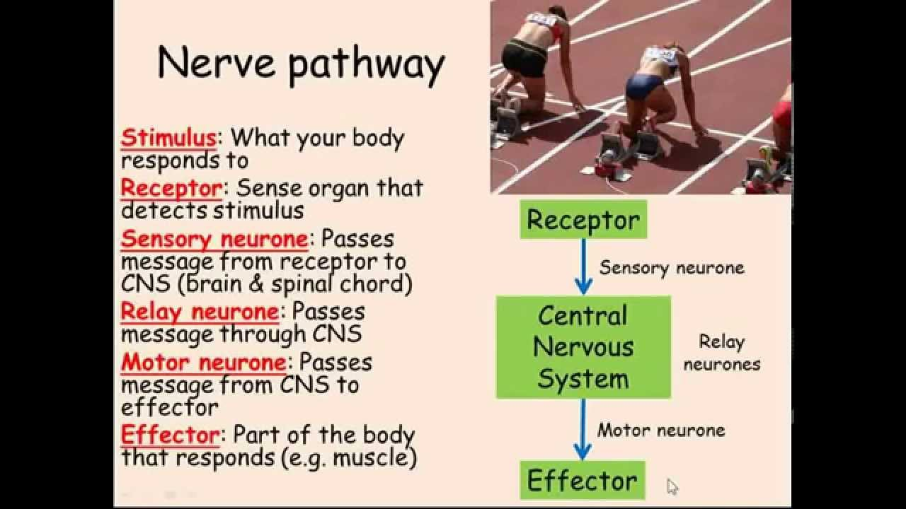 central nervous system explained Pain and how you sense it  the gate theory says that as these pain messages come into the spinal cord and the central nervous system .
