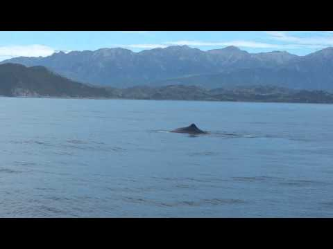 Sperm Whale Watching in Kaikoura