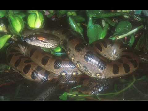 The Biggest Snakes in the World,Man-Eaters