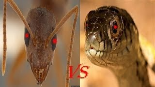 Fire Ants VS Snake in Big Battle