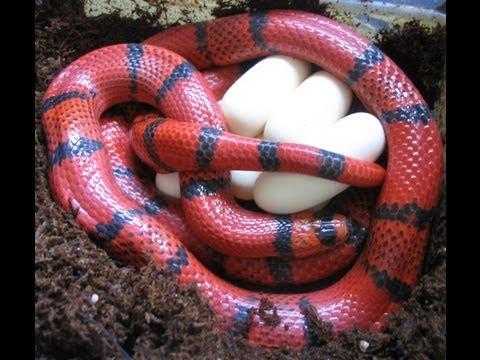 Snake bytes tv snake eggs by the truck load snakebytestv youtube