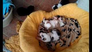 Mastine Pups 4.3gp