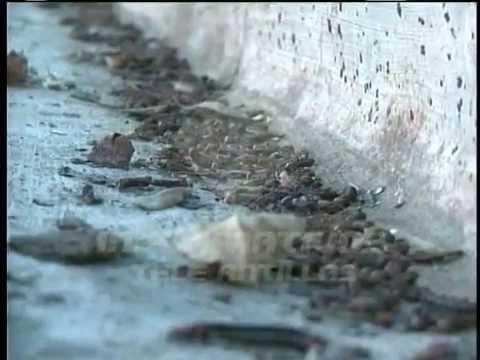 Plaga de gusanos afecta cultivos de yuca en Santiago