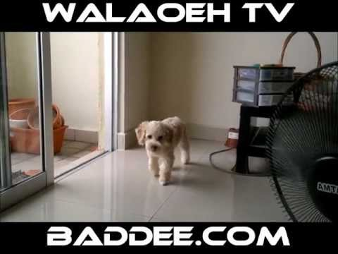 Walaoeh TV First Toy Poodle Hair Cut