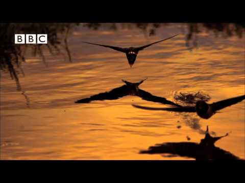 Stunning Swallows Drinking in Flight. Earthflight (Winged Planet) Narrator David Tennant.