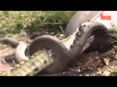 Snake eats crocodile in river side