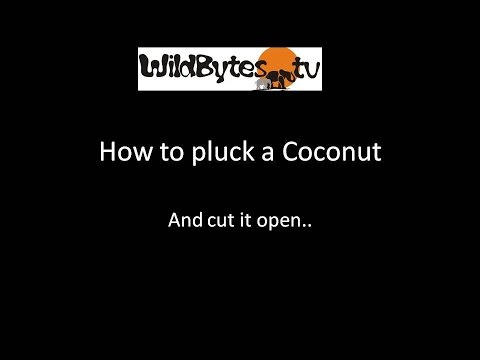 How to pluck a Coconut and cut it open