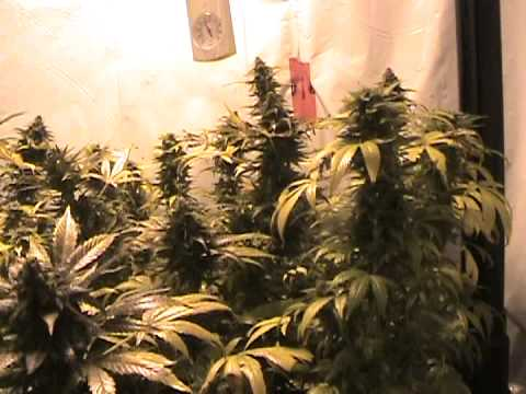 Greenhouse Gangsta  1000 watt white widow grow